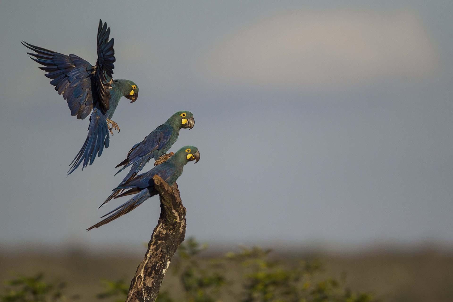Arara Lear – Soltura Boqueirão da Onça 2019